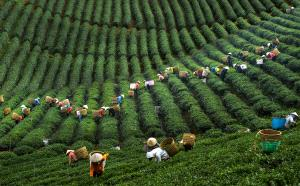 IUP Honor Mention - Thach Hoang Ngoc (Vietnam) <br /> Tea Picking No.1