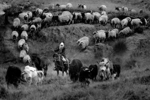 PhotoVivo Honor Mention - Xin Yan (China)  Herd