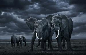 SPC Merit Award - Youshu Hu (China)  African Elephants