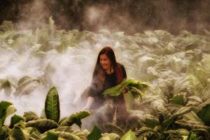 PhotoVivo Honor Mention - Pat Choo (Singapore) <br /> Collecting Tobacco Leaves