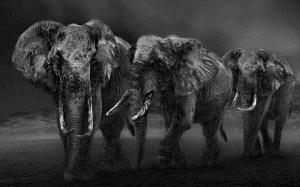 SPC Bronze Medal - Xiaoxi Liao (China)  Elephants In Twilight