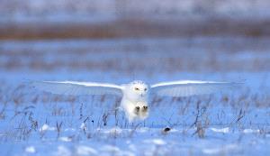 SPC Merit Award e-certificate - Shiqing Tang (China) <br /> Snowy Owl