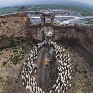 APAS Gold Medal - Jun Ye (China)  Herd Back