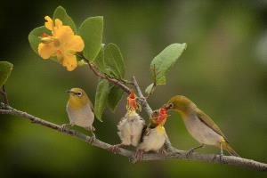 PhotoVivo Honor Mention e-certificate - Lung-Tsai Wang (Taiwan) <br /> Japanese White-Eye3