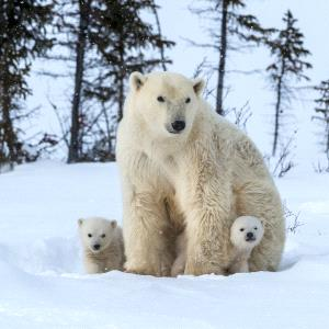 SPC Merit Award e-certificate - Danlei Ye (Canada) <br /> The Polar Bear7