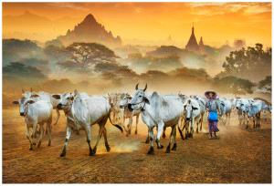 PhotoVivo Gold Medal - Wendy Wai Man Lam (Hong Kong)  Sheperd And Cows 3