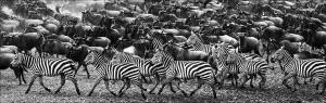 SPC Merit Award e-certificate - Phillip Kwan (Canada) <br /> Wildebeest and Zebra Marching BW