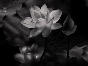 APU Gold Medal - Hon-Kwong Lee (Hong Kong)  Lighten Lotus