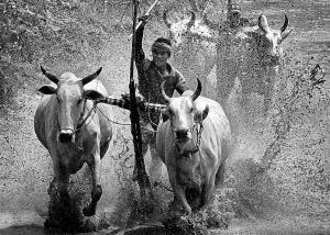 SPC Merit Award e-certificate - Huu Hung Truong (Vietnam)  1- Racing Cow