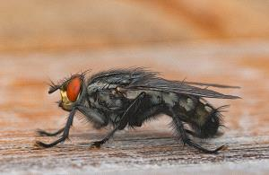 PhotoVivo Gold Medal - Peter Teuschel (Germany)  Fritz The Fly